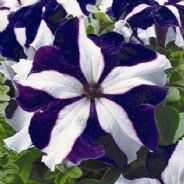 Petunia Frenzy Blue Star - 50 Pelleted seeds